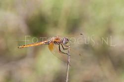 Trithemis annulata - Purperlibel1- female