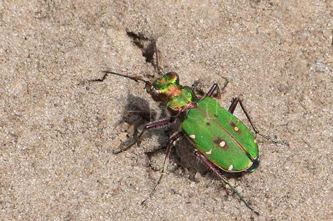 Cicindela campestris - Groene Zandloopkever