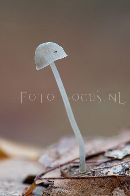 Mycena cinerella - Grijze mycena