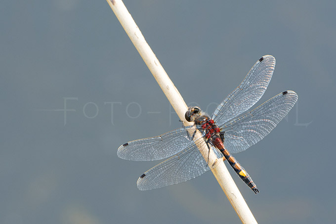 Leucorrhinia pectoralis - Gevlekte witsnuitlibel - male