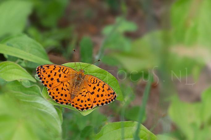 Brenthis daphne - Braamparelmoervlinder.