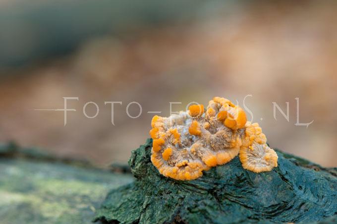 Phlebia radiata - Oranje aderzw1