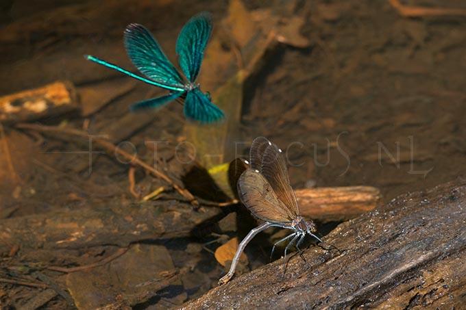 Calopteryx virgo - Bosbeekjuff.4 -egg laying female