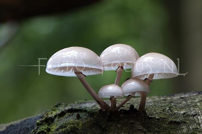 Oudemansiella mucida - Porseleinzw2