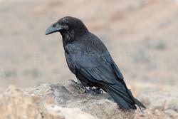 Corvus corax - Raaf