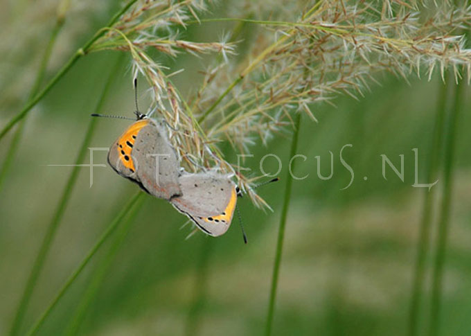 Lycaena phlaeas - Kleine vuurvlinder3 - copula