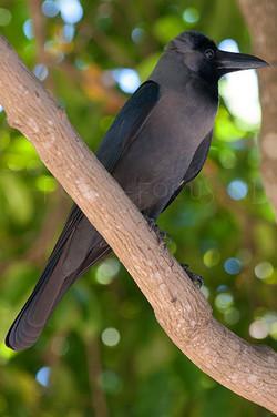 Corvus splendens - Huiskraai