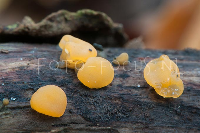 Dacrymyces stillatus Nees - Oranje druppelzw