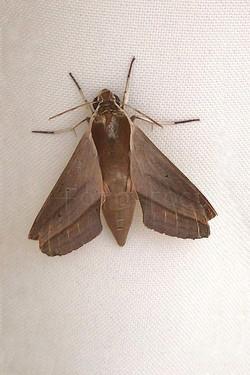 Theretra alecto - Pijlstaartvlinder