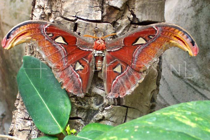 Attacus atlas - Atlas moth2