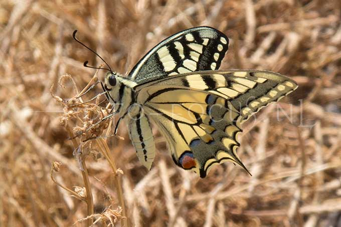 Papilio machaon - Koninginnepage3