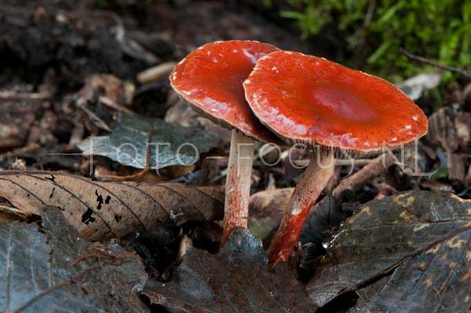 Psilocybe aurantiaca - Oranjerode stropharia