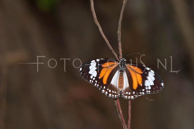 Danais affinis malayana