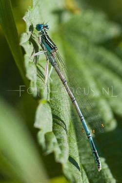Platycnemis pennipes- Blauwe Breedscheenjuff.3 -male