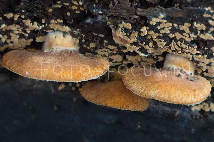 Crepidotus crocophyllus - Harig saffraanoorzw2