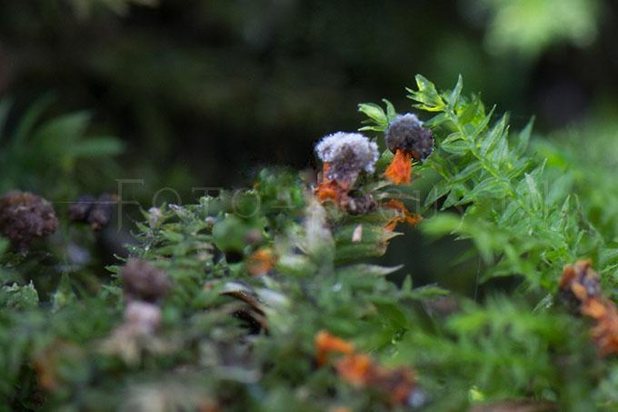 Physarum psittacinum - Oranjesteelkalkkopje