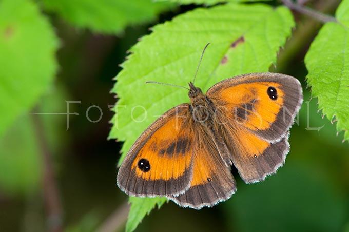 Pyronia tithonus - Oranje zandoogje1