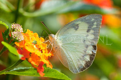 Catopsilia pomona f. jugurtha - female