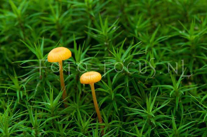 Rickenella fibula - Oranjegeel trechtertje