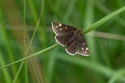Heteropterus morpheus - Spiegeldikkopje -female