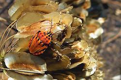 Codophila varia - Sierlijke schildwants