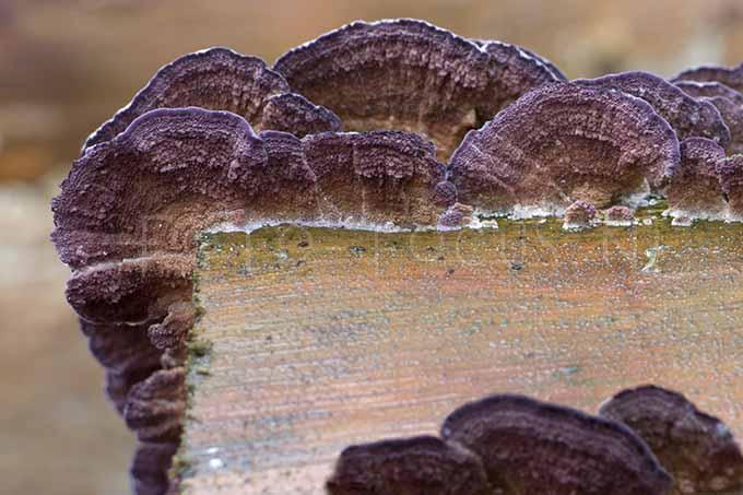 Trichaptum abietinum - Paarse dennenzw1
