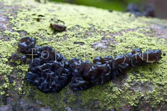 Exidia plana Donk - Zwarte trilzw