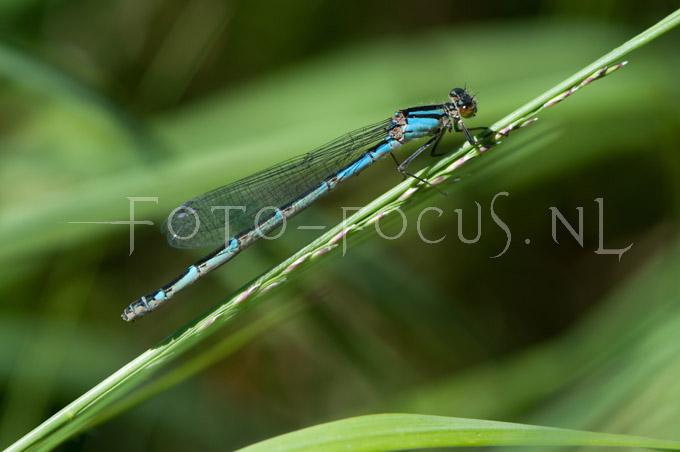 Enallagma cyathigerum - Watersnuffel1-female