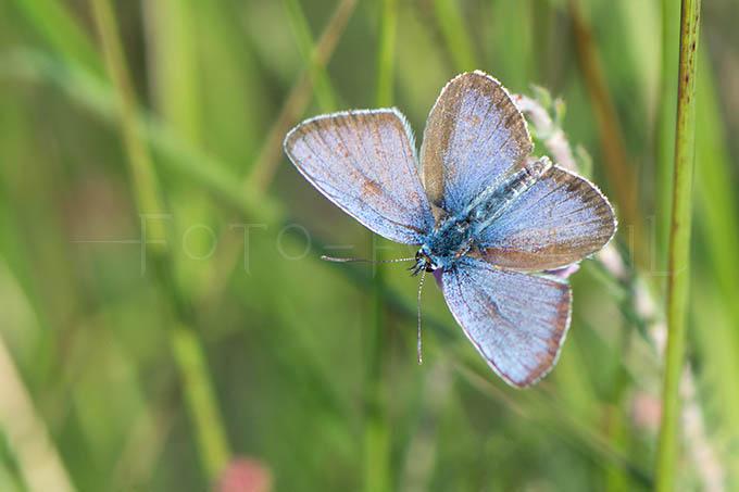 Plebejus argus - Heideblauwtje2 -male