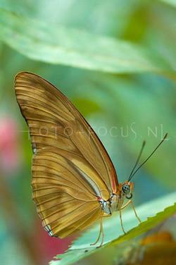 Dryas iulia - Oranje passiebloemvl