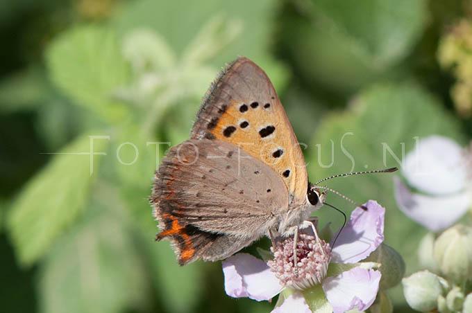 Lycaena phlaeas - Kleine Vuurvlinder2