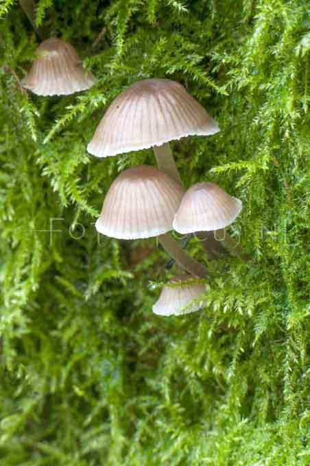Mycena hiemalis - Stronkmycena1