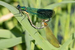 Calopteryx splendens - Weidebeekjuff.3- copula