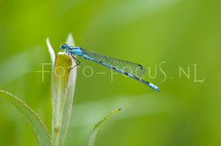 Enallagma cyathigerum - Watersnuffel2 -male