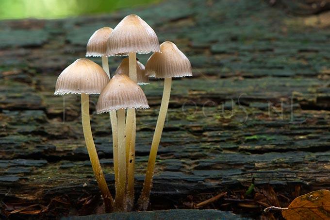 Mycena inclinata - Fraaisteelmycena1