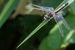 Leucorrhinia pectoralis - Gevlekte witsnuitlibel - female
