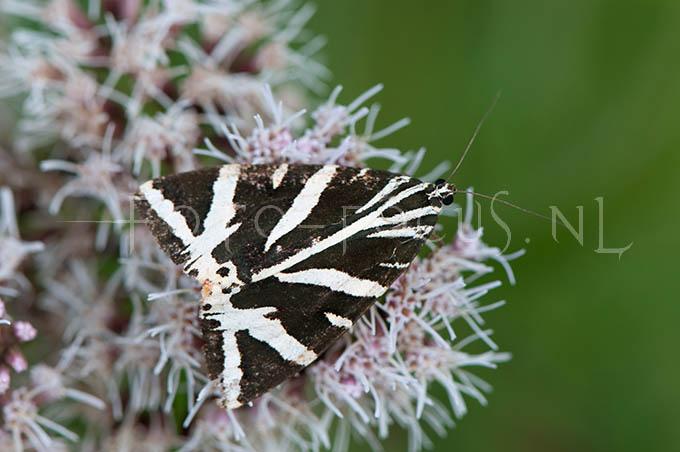 Euplagia quadripunctaria - Spaanse vlag2