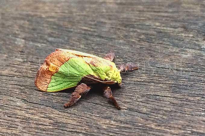 Parasa chloris - Kleine parasa moth