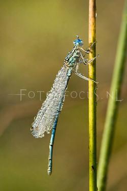 Platycnemis pennipes - Blauwe breedscheen juff.2 -male