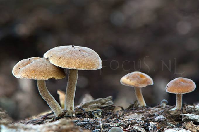 Simocybe sumptuosa - Groot matkopje