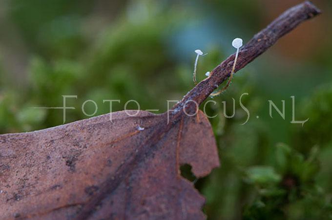 Marasmius setosus - Tengere beuketaailing