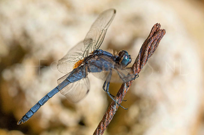Orthetrum glaucum - male1