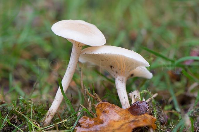 Clitocybe candicans - Kleine bostrechterzw.1