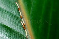 1Rups Caligo memnon - Uilvlinder