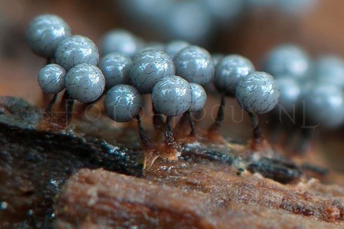 Cribraria macrocarpa - Zwartnetlantaarntje2