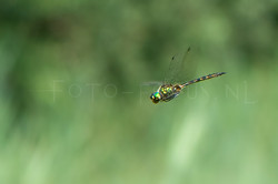 Somatochlora flavomaculata - Gevlekte glanslibel -male