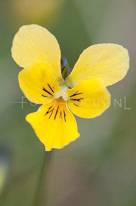 Viola lutea calaminaria - Zinkviooltje2