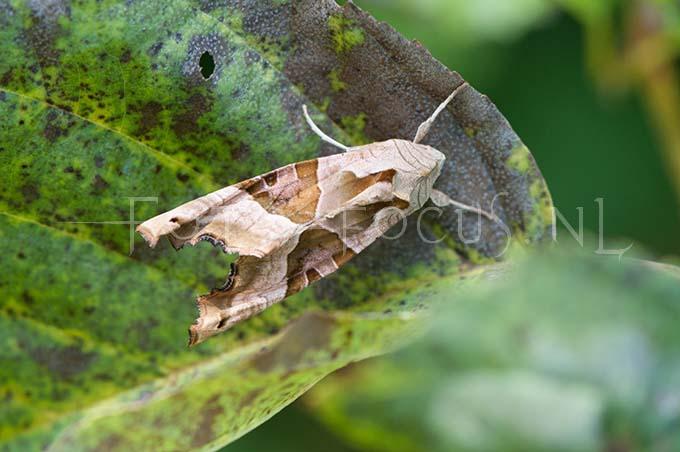 Phlogophora meticulosa - Agaatvlinder