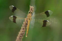 Sympetrum pedemontanum - Bandheidelibel1 -female