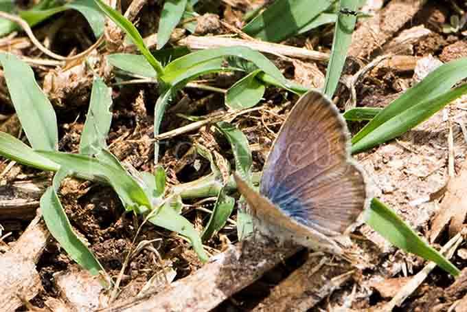 Cyclyrius webbianus - Canarisch blauwtje